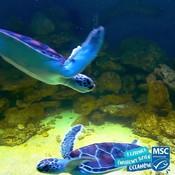 Turtle swimming on loop