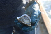 Oysters in the Netherlands